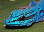 Lygodactylus williamsi_biodiversity