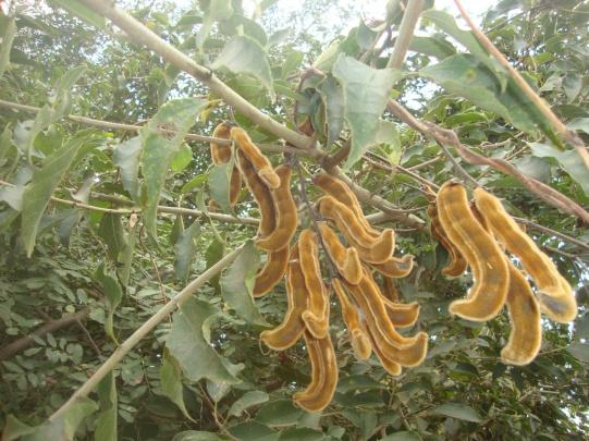 Seed pods of Mucuna sp. cause skin irritation